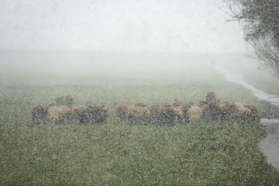 pasen 8432 - pasen 2021 - foto door onne1954 op 05-04-2021 - deze foto bevat: panorama, natuur, licht, sneeuw, dieren, landschap, schapen, polder