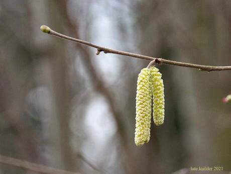 Elzenkatjes i.h. voorjaar