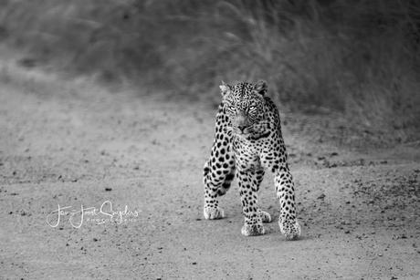 Strangler luipaard