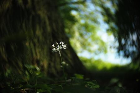 Daslook - fotowedstrijd puur natuur inzending 2 - Inzending voor de fotowedstrijd puur natuur. Een serie foto's van daslook dat in het voorjaar in het wild bloeit. Het draaierige en wat kleurrijkere/ - foto door mdebeer op 30-12-2018 - deze foto bevat: boom, bloem, lente, natuur, landschap, bos, voorjaar, nederland