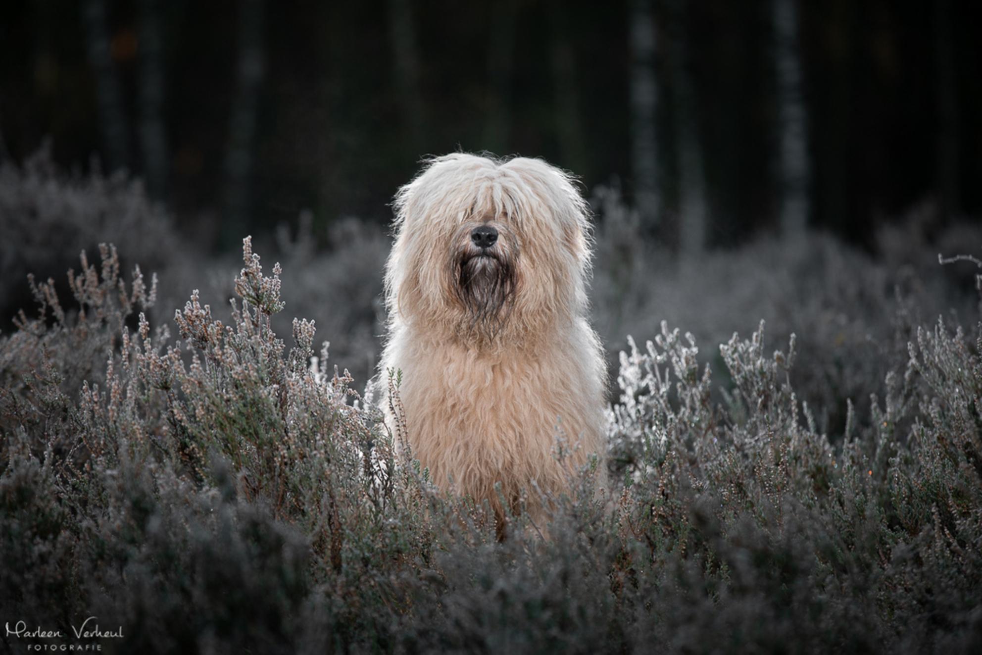 Strobist - Pippa ging keurig zitten voor deze strobist foto, nog met bevroren heide. Geweldig! - foto door MarleenVerheulFotografie op 05-12-2020 - deze foto bevat: dieren, huisdier, hond, strobist, hondenfotografie, hondenfotograaf - Deze foto mag gebruikt worden in een Zoom.nl publicatie