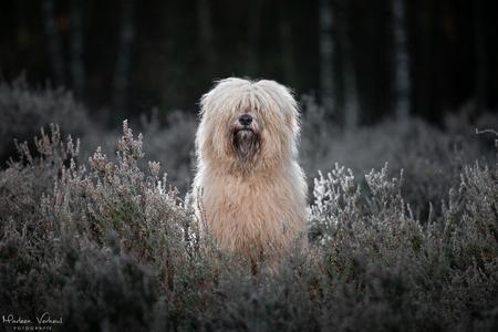 Strobist - Pippa ging keurig zitten voor deze strobist foto, nog met bevroren heide. Geweldig! - foto door MarleenVerheulFotografie op 05-12-2020 - deze foto bevat: dieren, huisdier, hond, strobist, hondenfotografie, hondenfotograaf