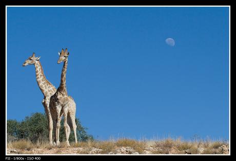Giraffes met maan