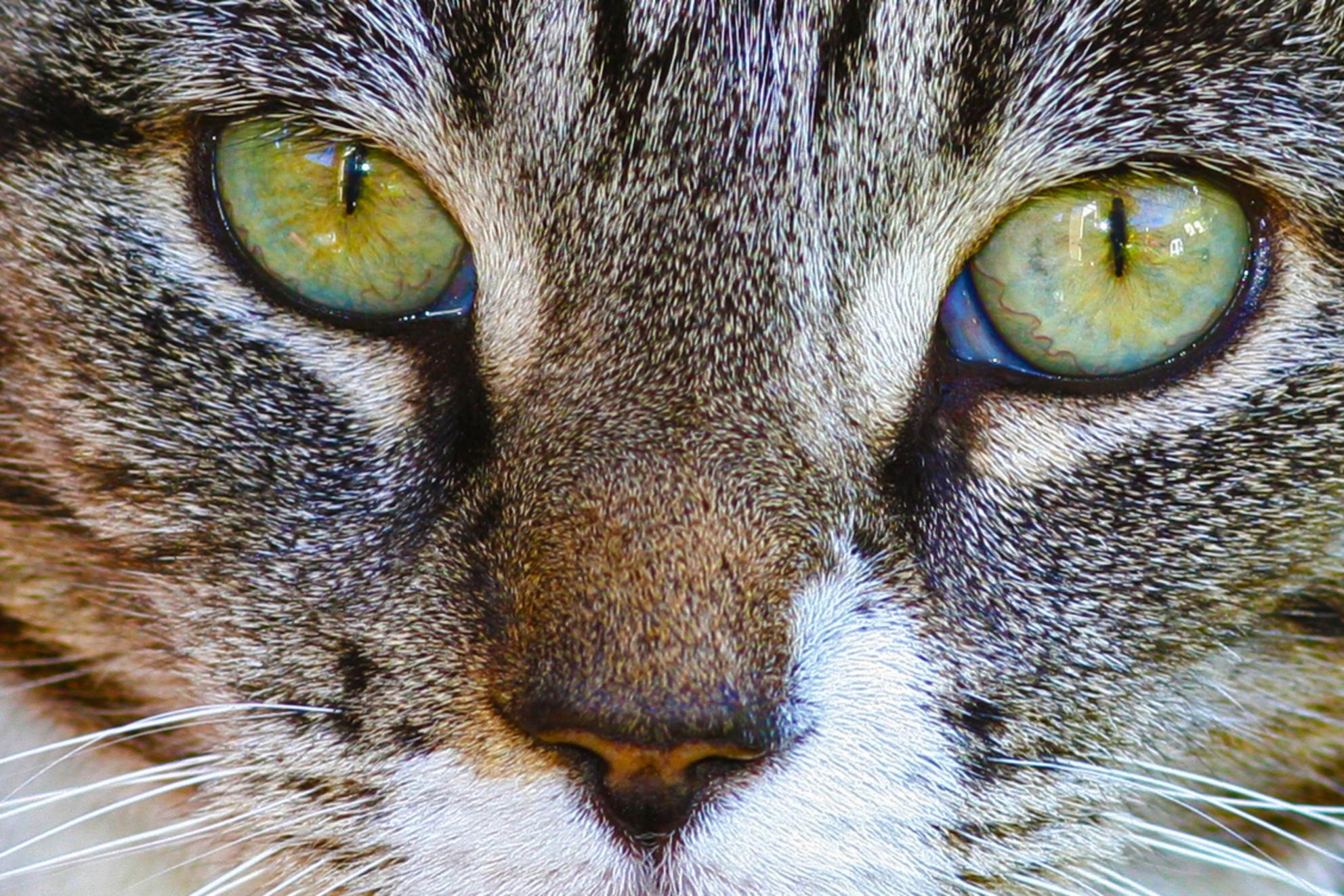 Minou - onze poes Minou - foto door vipske op 20-07-2011 - deze foto bevat: macro, poes, huisdier, ogen, mooi, fotogeniek