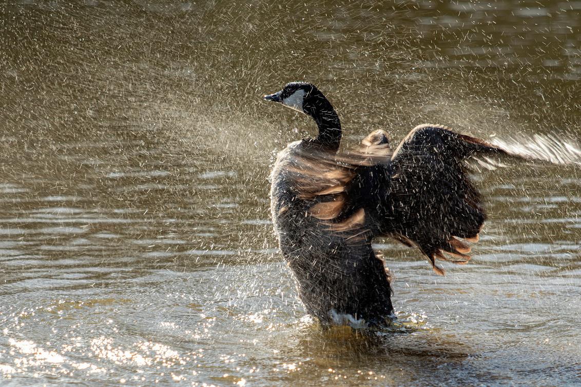 Spetter de spetter - Altijd een leuk gezicht als watervogels badderen, hoe groter hoe meer spektakel.   Bedankt voor de fijne reacties bij mijn vorige opname. - foto door Dodsi op 31-03-2021 - deze foto bevat: water, natuur, dieren, gans, watervogel, canadese gans