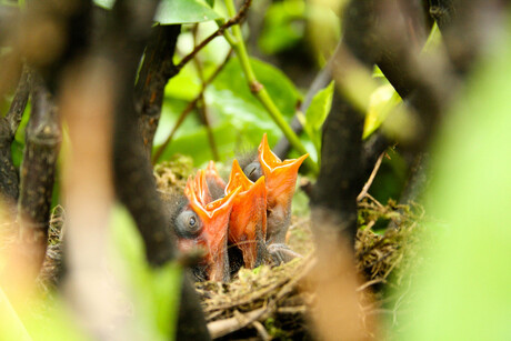Tsjilpend nestje