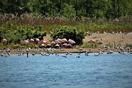 Flamingo's in Zwillbrocker Venn