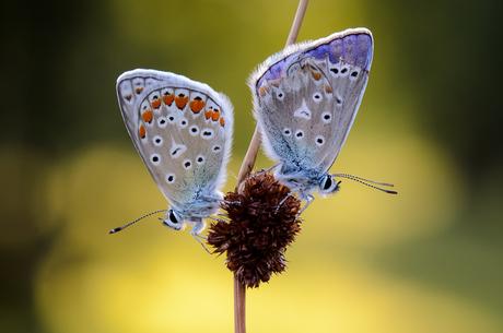 Icarusblauwtje / Polyommatus icarus / Common blue