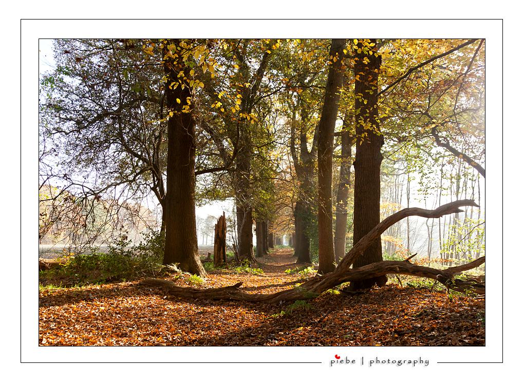 Herfst licht - Op zatedag 12 november 2011 heb ik een prachtige wandeling gemaakt in de bossen van Oranjewoud. Het licht scheen hier erg mooi van opzij en het novem - foto door Piebe op 17-11-2011 - deze foto bevat: zon, schaduw, bomen, friesland, bossen, laan, oranjewoud, novmberlicht