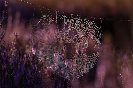 spinnenweb in de bloeiende heide