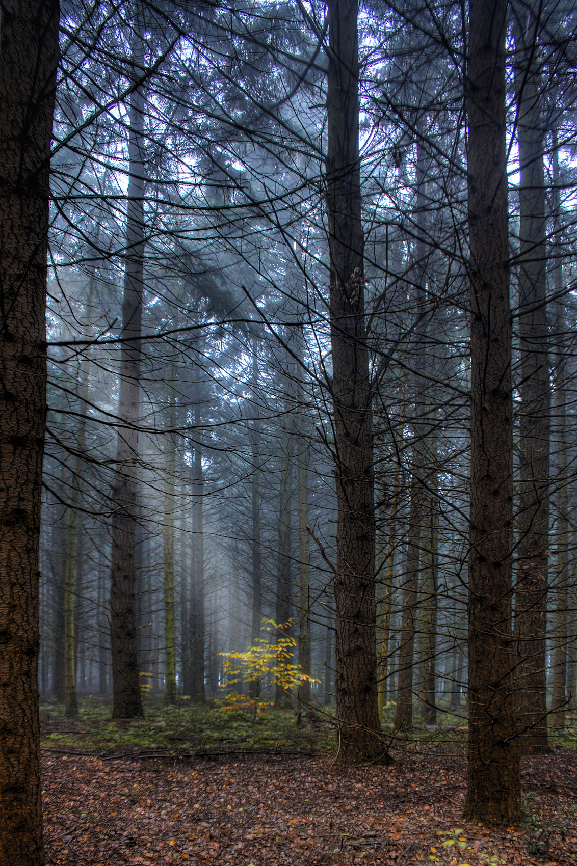 groenewoud - een herfstplaat gemaakt in het 'groenewoud' te Swalmen (Limburg) - foto door remkokillaars op 04-10-2012 - deze foto bevat: herfst, bos, dennen, lichtstraal
