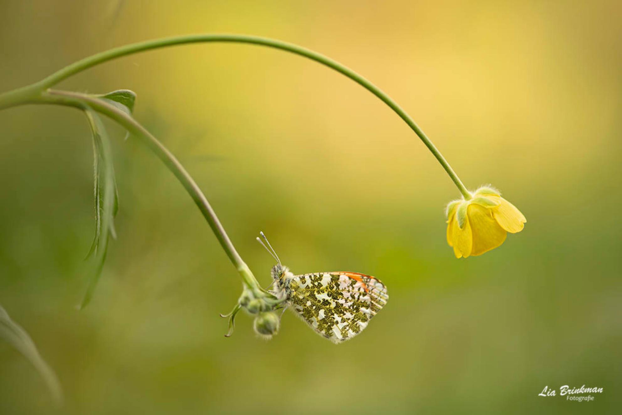 oranje tipje - Oranjetipje, Aurorafalter, l'Aurore  Het oranjetipje is een dagvlinder familie de witjes. Het is een gemakkelijk te herkennen voorjaarsvlinder. Het - foto door hulsman op 21-04-2019 - deze foto bevat: groen, macro, wit, zon, bloem, lente, natuur, boterbloem, vlinder, bruin, geel, licht, oranje, oranjetipje, tegenlicht, insect, vlindertuin, dof, bokeh, aurorafalter, l'aurore - Deze foto mag gebruikt worden in een Zoom.nl publicatie