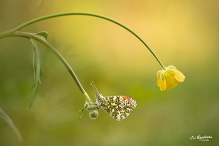 oranje tipje - Oranjetipje, Aurorafalter, l'Aurore  Het oranjetipje is een dagvlinder familie de witjes. Het is een gemakkelijk te herkennen voorjaarsvlinder. Het - foto door hulsman op 21-04-2019 - deze foto bevat: groen, macro, wit, zon, bloem, lente, natuur, boterbloem, vlinder, bruin, geel, licht, oranje, oranjetipje, tegenlicht, insect, vlindertuin, dof, bokeh, aurorafalter, l'aurore