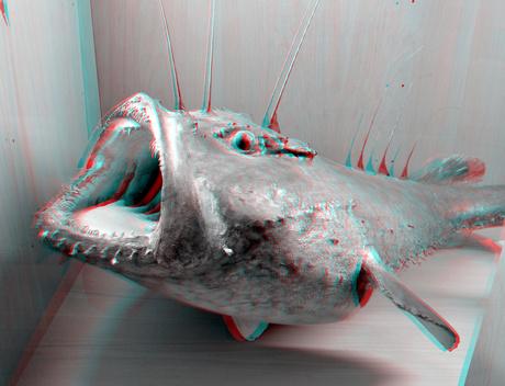 Zeeduivel (Anglerfish Cophius piscatorius) NHM Rotterdam 3D