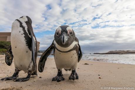 Close-up Afrikaanse pinguïn