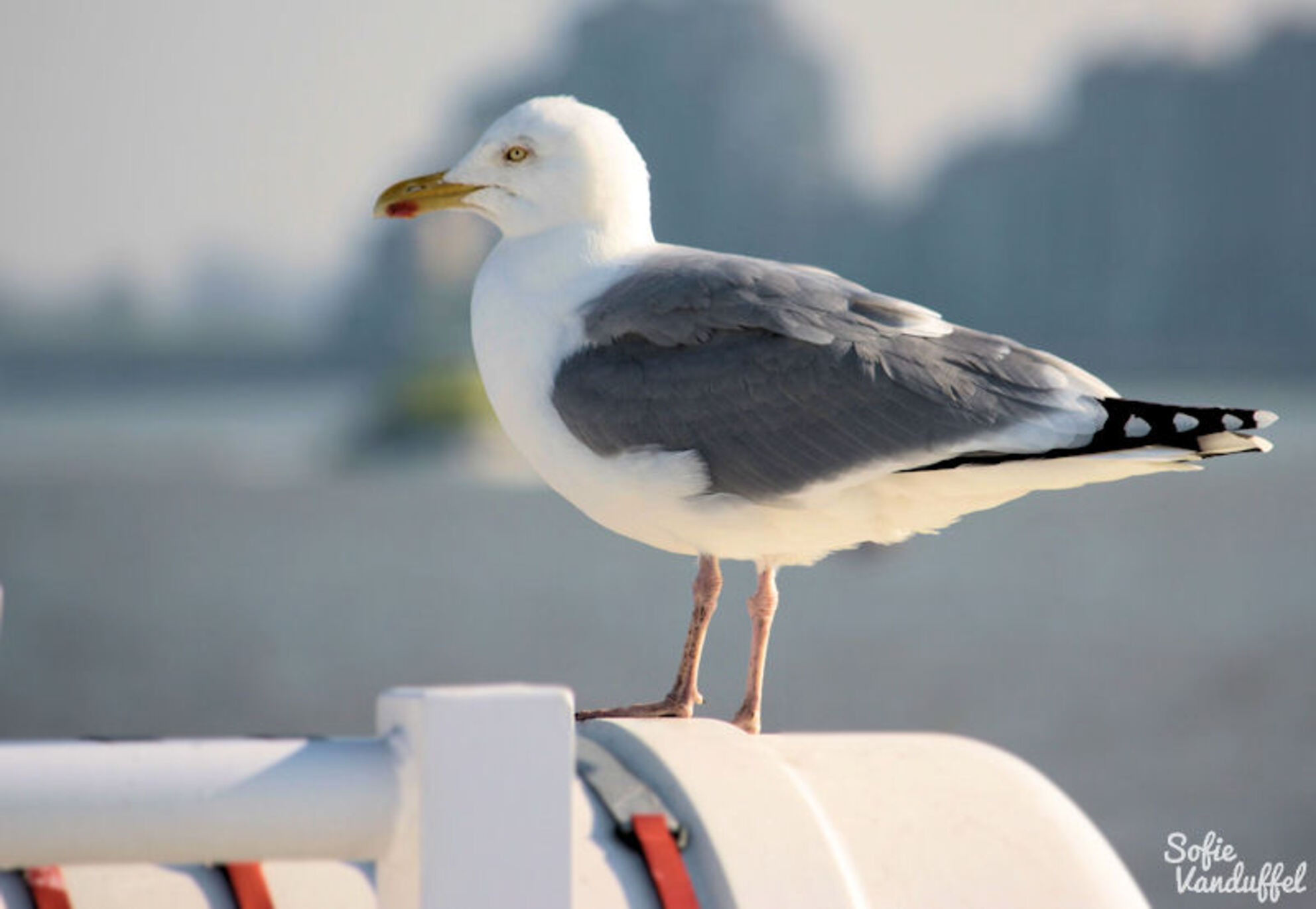 Rustige zeemeeuw - Meeuw op de boot van Breskens naar Vlissingen. - foto door sofievanduffel op 31-07-2013 - deze foto bevat: zee, meeuw, dieren, vogel, reizen, zeeland, nederland, Canon EOS 1000D - Deze foto mag gebruikt worden in een Zoom.nl publicatie