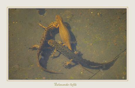 Salamander Liefde