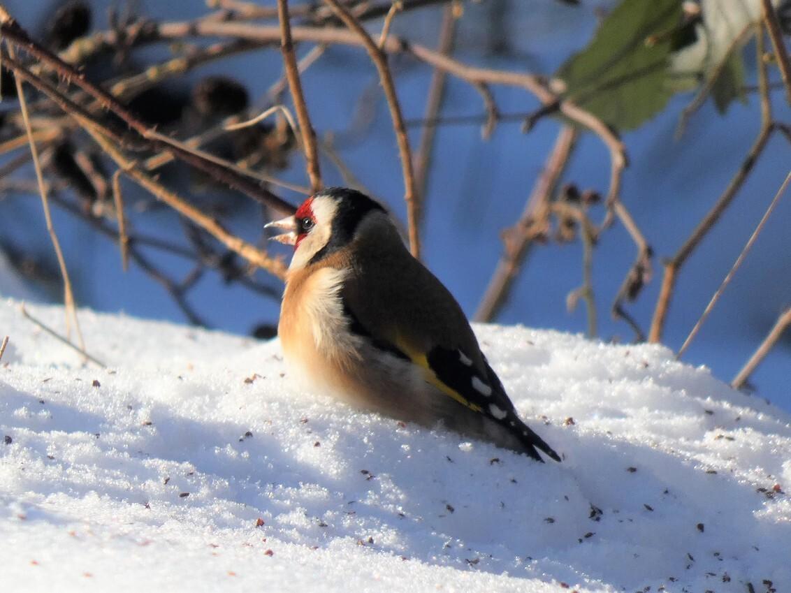 Putter in de sneeuw (2) - Putter zoekt elzenzaadjes in de sneeuw. - foto door annekuipers2013 op 27-02-2021 - deze foto bevat: vogel, putter