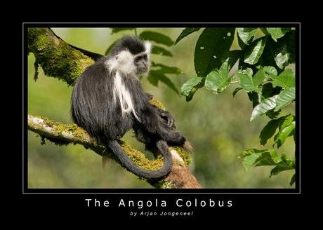 The Angola Colobus