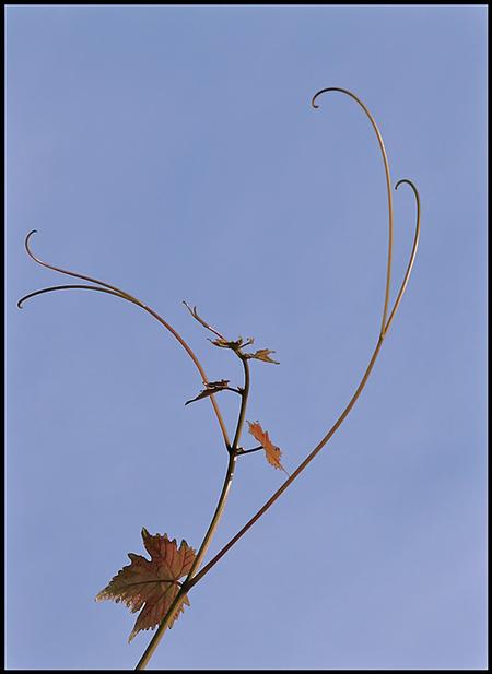 voorzichtig !!.. - heel voorzichtig de lente in..  ---------------------------------- wijnrankje...   ff dubbel klik.   fijne avond en dank voor de reacties o - foto door christinel op 23-03-2015 - deze foto bevat: lente, natuur, blad, voorjaar