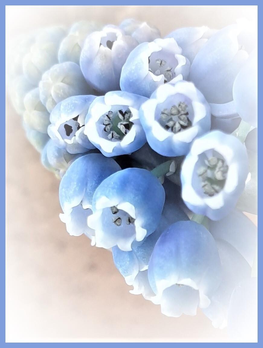 blauwtje - even binnen kijken  gr Bets - foto door cgfwg op 05-04-2021 - deze foto bevat: macro, blauw, bloem, lente, natuur