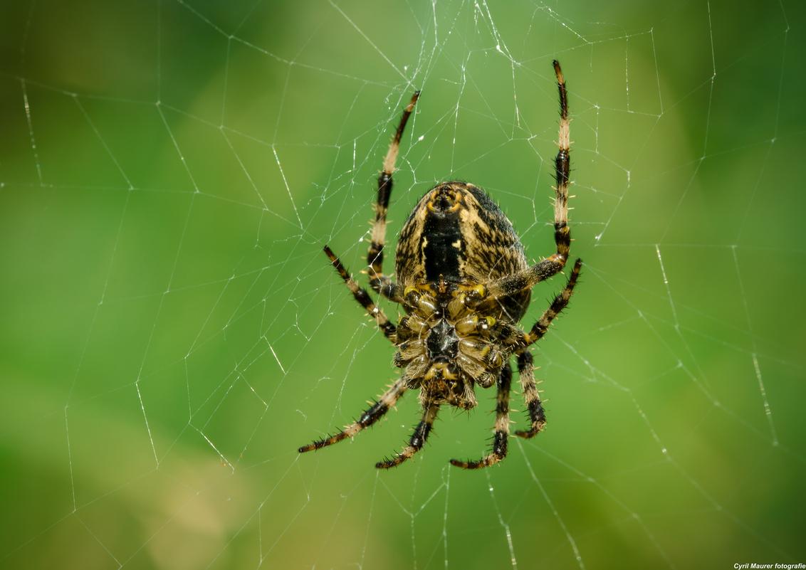 Grote Kruisspin 2 - dit is nog een van de grootste kruis spin die ik tot nu tot gezien heb maar nu van de achterkant - foto door sipmaurer op 17-09-2015 - deze foto bevat: groen, macro, natuur, bruin, geel, kruisspin, herfst, zwart, web, spinnenweb, dof