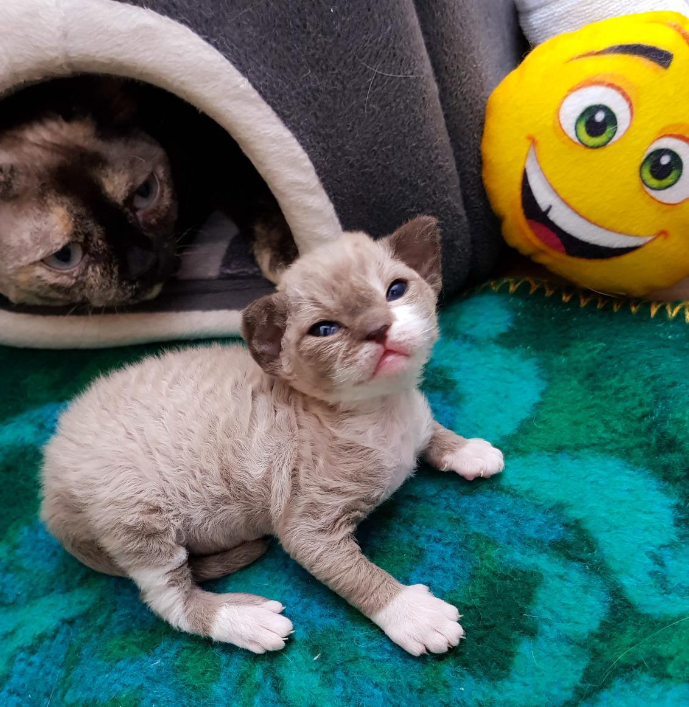 Devon rex kitten Noxy - Bezorgde mama want Noxy is buiten huis gegaan - foto door schaiky op 27-12-2020 - deze foto bevat: kitten, poes, dieren, huisdier, kat, Devon Rex