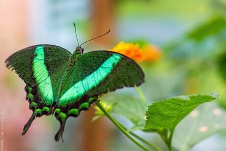 Tropische vlindertuin Passiflora hoeve
