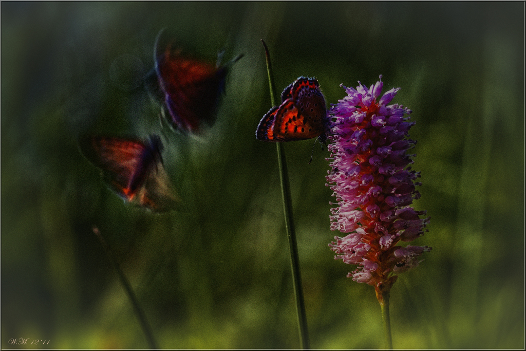 Dreamflight... - Het kan een vlucht zijn van de werkelijkheid....Blauwe vuurvinders (Lycaena helle)...ik droom tot de lente komt en de kilte verdwenen is.  Ik heb g - foto door creation_zoom op 14-12-2011 - deze foto bevat: dromen, creation, droomvlucht, vluchten, blauwe vuurvlinder, Lycaena helle