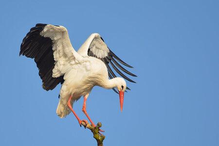 Tussenstop! - De ooievaar (Ciconia ciconia, ook wel witte ooievaar genoemd) behoort tot de ooievaarsfamilie (Ciconiidea).Deze grootste Nederlandse vogelleeft in  - foto door hayke op 19-11-2016 - deze foto bevat: ooievaar, Ciconia ciconia, hayke