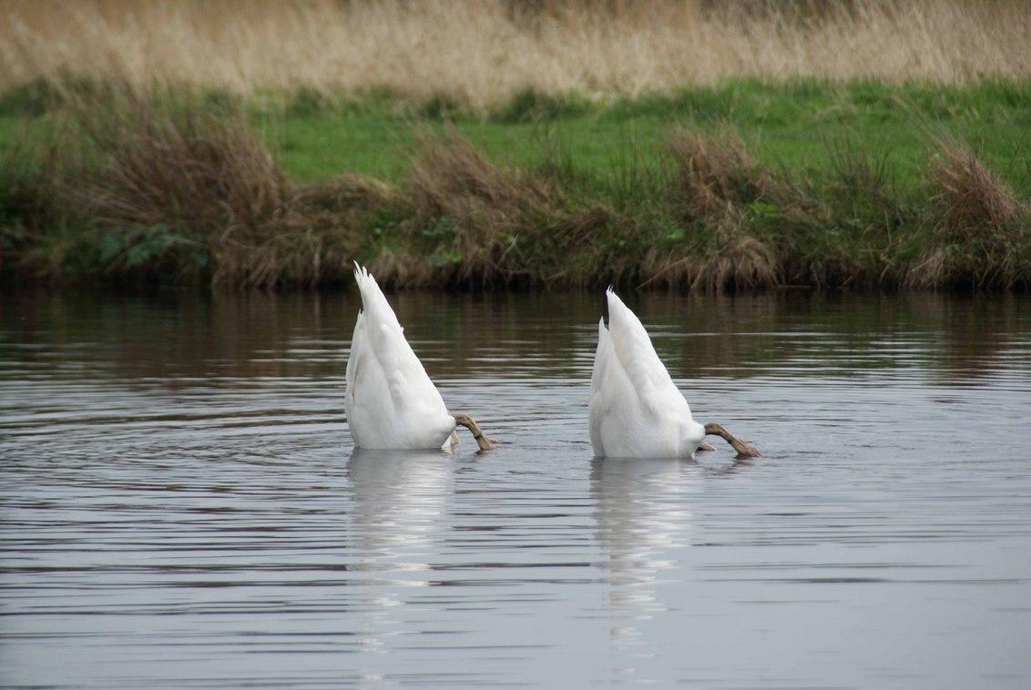 Synchroonzwemmende zwanen - - - foto door TrudyH op 23-04-2009 - deze foto bevat: natuur, vogels, dieren, zwaan