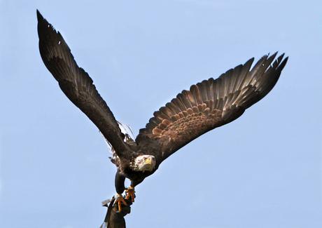 Bold eagle (Bewerking van Jan Ouwendijk)