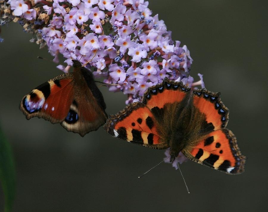 Vlinders voor Pink Ribbon. - Een van twee jaar geleden met twee vlinders..  gr jenny, en allen bedankt voor de reactie op het zonnescherm. - foto door jenny42 op 09-10-2016 - deze foto bevat: bloem, pink, natuur, vlinder, atalanta, tuin, dieren, zomer, vlinders, nederland, meppel, ribbon, Kleine vos., pink ribbon