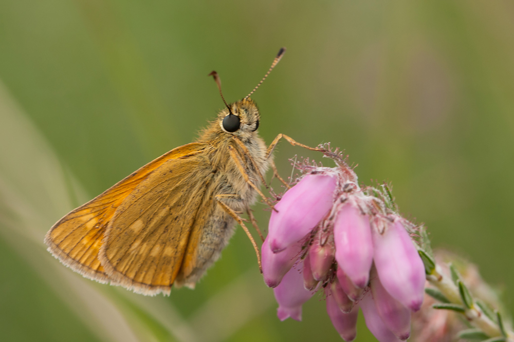 Dikkopje - 26-06-2011 - foto door janden op 24-01-2012 - deze foto bevat: macro, vlinder, dikkopje