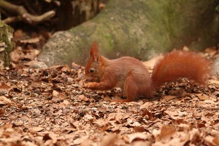 eekhoorn - - - foto door adriejasper op 04-03-2021 - deze foto bevat: natuur, eekhoorn