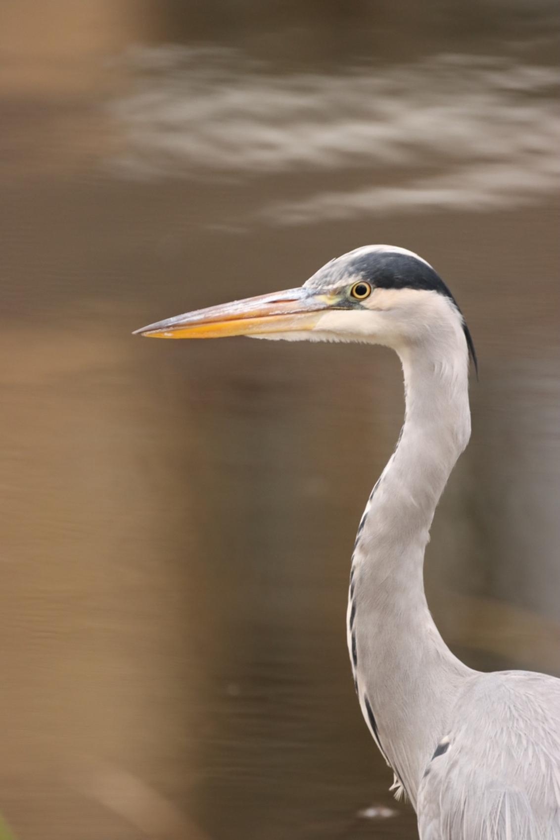 Reiger - - - foto door KarinVeenema op 15-12-2020 - deze foto bevat: vogel, reiger, wildlife