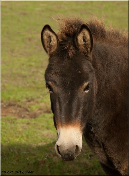 Ezeltje - Een foto van verleden week, het was toen nog erg mooi weer en niet zo koud. - foto door jansenpeet op 27-10-2012 - deze foto bevat: ezels