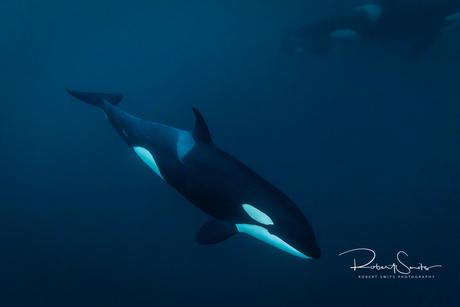Orca in het water...