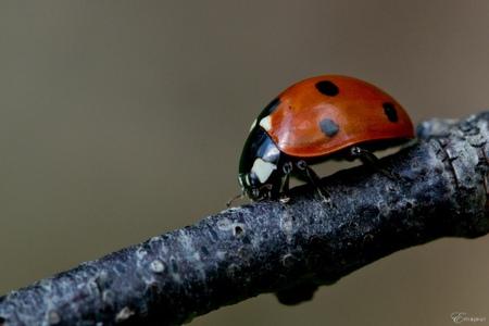lieveheersbeestje - Ik zag er een paar zitten in een struikje in de tuin. Wil graag proberen nog eens een vliegende scherp erop te krijgen, maar het is nu te koud - ze v - foto door studioesther op 22-04-2012 - deze foto bevat: lieveheersbeestje, lhb, insect