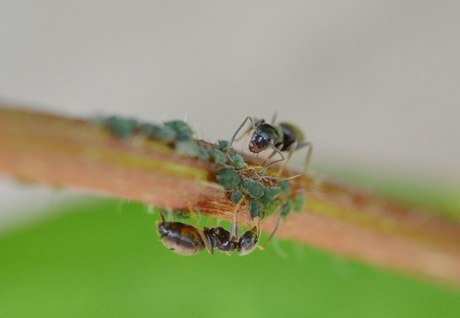 mier versus bladluis