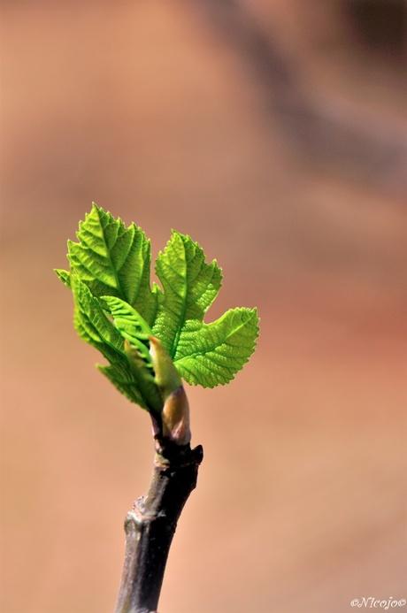 Jong vijgenblad.....