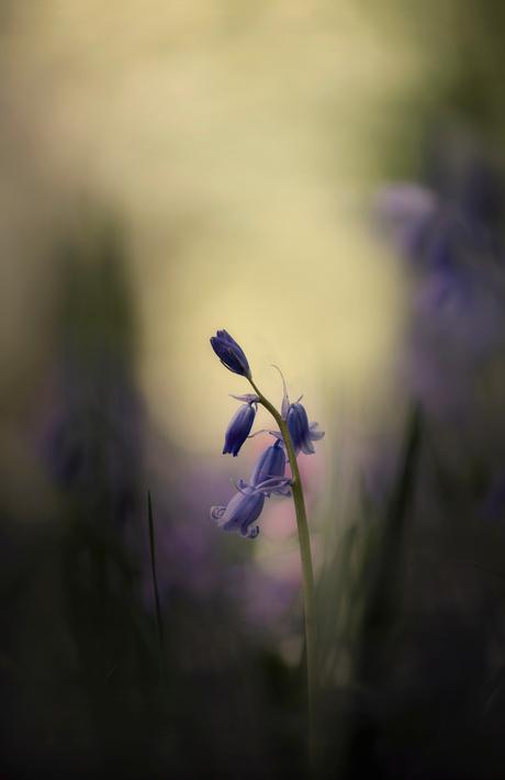 Bos hyacintje