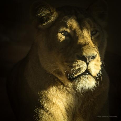 Leeuwin in zonlicht