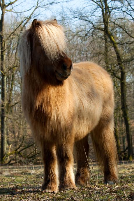 ijslandse pony @ posbank