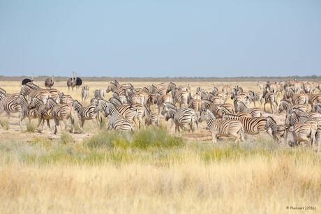 De zebrahoeders