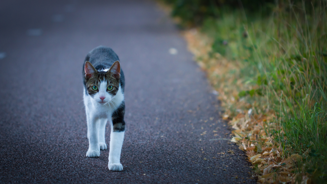 The eye of the tiger - Terwijl ik een stukje aan het lopen was met mijn camera zag ik deze kat op mij af komen lopen, vastberaden alsof hij een doel had. De indringende oge - foto door niels_vandijk89 op 13-09-2012 - deze foto bevat: gras, straat, fietspad, poes, huisdier, kat, stad, kater, sfeer, utrecht, asfalt