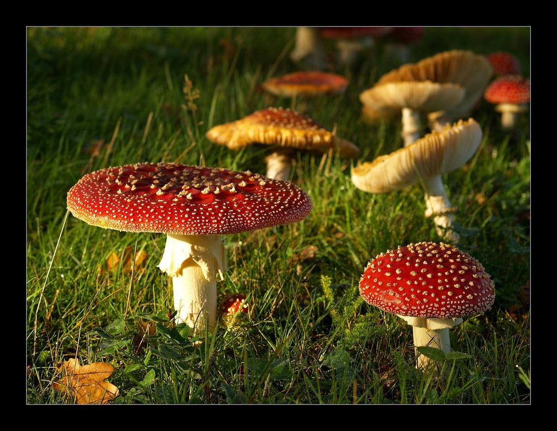 Op een grote paddestoel... - Ik wou eigenlijk maar één vliegenzwamfoto uploaden. Ik kon echter moeilijk kiezen tussen deze en die van gisteren. Hier vind ik het licht heel mooi ( - foto door juriheise op 07-10-2010 - deze foto bevat: vliegenzwam, herfst, paddenstoel
