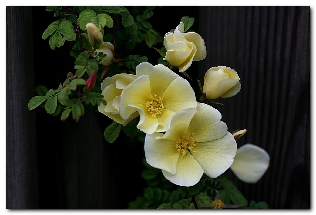 Hidcote Gold 2 - De vorige foto was van de eerste rozenbloem dit seizoen. Deze foto is van dezelfde roos, maar dan op het hoogtepunt. Inmiddels is deze voorjaarsbloei - foto door MarnixBakker op 25-05-2010 - deze foto bevat: bloem, roos, stekel, Hidcote Gold