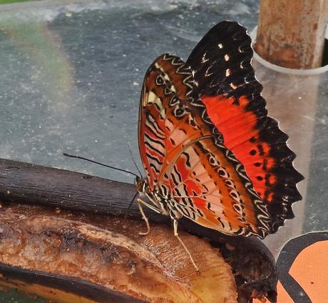 De rode vlinder