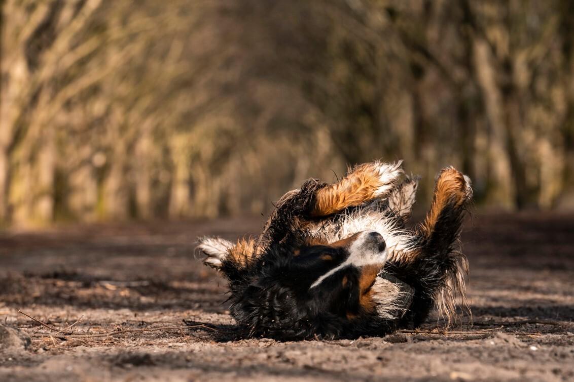 Rose mijn Berner - Rollebollen - foto door GeryS op 04-03-2021 - deze foto bevat: dieren, huisdier, hond